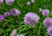 精彩圖片:細香蔥 Allium schoenoprasum Linn.