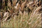 高山植物:高山芒Miscanthus transmorrisonensis Hayata