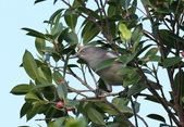 鳥類攝影:A20T0037.JPG
