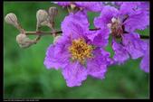 木本花卉:大花紫葳