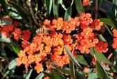 多肉植物:緋苞木 Euphorbia fulgens Karw