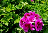 草花植物:星光天竺葵 Pelargonium × hortorum