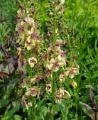 草花植物:東方毛蕊花 Verbascum chaixii Vill. ssp. orientale Hayek