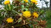 草花植物:紅花