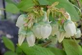 木本花卉:藍莓花