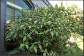 觀葉植物:金葉木Sanchezia nobilis