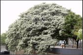 觀賞樹木:苦楝樹Melia azedarach