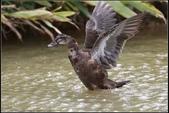 人類飼養的鳥:深色菜鴨