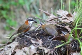 鳥類攝影:小彎嘴畫眉 育雛