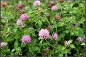 草花植物:紅三葉草Trifolium pratense