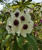 外國植物:躑躅類杜鵑 (石楠類;HYMENANTHES)