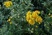 菊花:阿里山油菊 Chrysanthemum arisanense Hayata