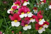 草花植物:愛蜜西 曩距花 Nemesia strumosa