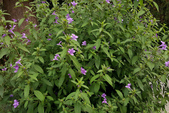木本花卉:假杜鵑 Barleria cristata L.