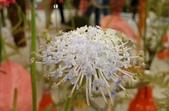 草花植物:翠珠花 Trachymene(Didiscus) coerulea