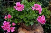 草花植物:瀑布天竺葵 Pelargonium'Mini Cascade'