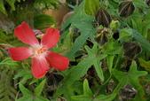 草花植物:劍葉秋葵 :Abelmoschus sagittifolius (Kurz)