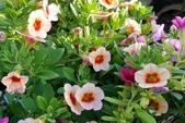 草花植物:舞春華 Calibrchoa 'Million Bells'