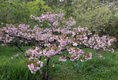 木本花卉:高砂櫻Cerasus sieboldii