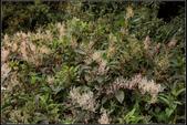 高山植物:虎杖Polygonum cuspidatum Sieb. et Zucc.