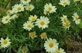 菊花:黃花蓬蒿菊