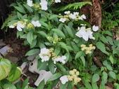 野花:華八仙花 Hydrangea chinensis
