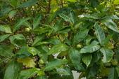 觀賞樹木:檄樹 Morinda citrifolia