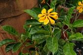 木本花卉:長柄梔子 長花梔子