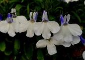草花植物:六倍利 Lobelia erinus