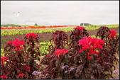 草花植物:雁來紅Amaranthus tricolor