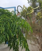 觀賞樹木:山菜豆 Radermachera sinica (Hance) Hemsl.