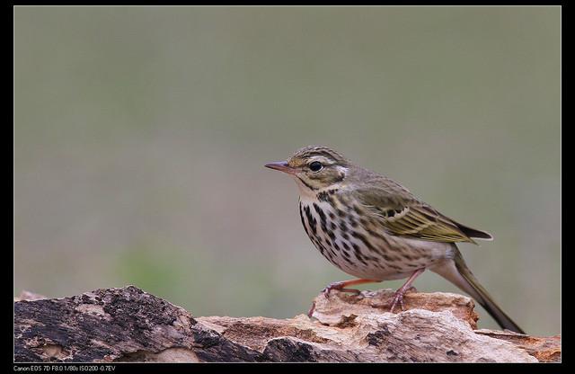 鳥類攝影:1770958759.jpg