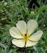 草花植物:薊罌粟 Argemone mexicana L.