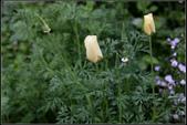 草花植物:金英花Eschscholzia californica
