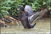 人類飼養的鳥:黑色騾鴨
