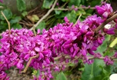 木本花卉:紫金花
