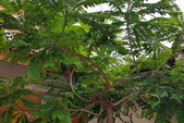 觀賞樹木:西印度醋栗Phyllanthus acidus