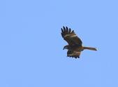 鳥類攝影:黑鳶Milvus migrans