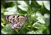 昆蟲圖像:大白斑蝶