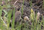 鳥類攝影:A20T3183.JPG