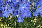 草花植物:小飛燕草 Delphinium ajacis