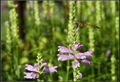 草花植物:隨意草Physostegia virginiana