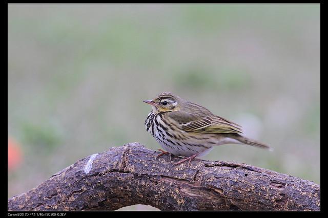 鳥類攝影:1770958753.jpg