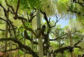 藤蔓植物:白藤