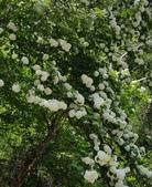 木本花卉:繡球莢蒾 Viburnum macrocephalum