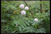 草花植物:美洲含羞草