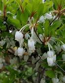 木本花卉:日本吊鐘花  Enkianthus perulatus