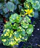 菊花:星點山菊 Farfugium japonicum 'Aureomaculatum'
