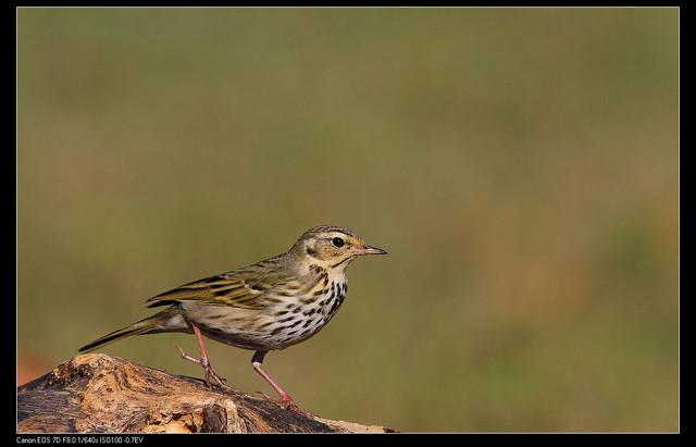 鳥類攝影:1770958766.jpg