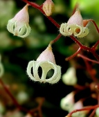 木本花卉:蘋婆Sterculia nobilis R. Brown